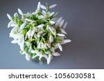bunch of white garden snowdrops ... | Shutterstock . vector #1056030581