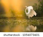 The Great White Egret  Ardea...