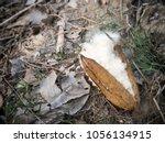 kapok  ceiba pentandra or white ... | Shutterstock . vector #1056134915