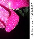 the beautiful roses | Shutterstock . vector #1056161417