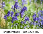 Bluebell With Bee. English...