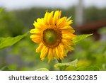 sunflower plant in the garden | Shutterstock . vector #1056230285