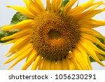 sunflower plant in the garden | Shutterstock . vector #1056230291
