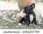 baby french bulldog puppy. dog... | Shutterstock . vector #1056257759