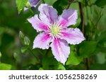 blooming clematis in the summer ... | Shutterstock . vector #1056258269