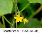 cucumber flower on a branch in... | Shutterstock . vector #1056258281