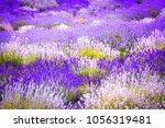 Lavender Fields In England  Uk