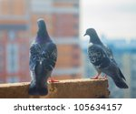 Pair Pigeon Sits On A...