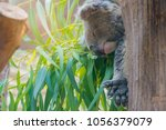image of coala on eucalyptus... | Shutterstock . vector #1056379079