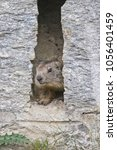 Small photo of Curious marmot looks out of a crevice in the Gran Paradiso area