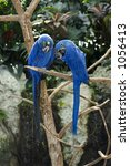 Two Hyacinth Macaws Grooming  ...