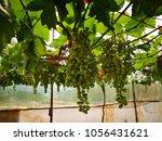 green grapes garden   Shutterstock . vector #1056431621