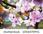 the beautiful cherry blossoms... | Shutterstock . vector #1056470951