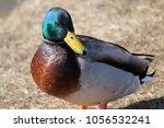 male mallard  anas... | Shutterstock . vector #1056532241