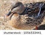 female mallard  anas... | Shutterstock . vector #1056533441