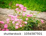 Pink Roses On A Bush In A...