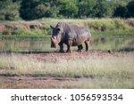 white rhino walking towards the ... | Shutterstock . vector #1056593534