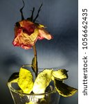 Small photo of Still life, artistic picture of a faded (overblown) rose.