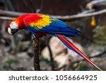The Scarlet Macaw  Ara Macao ...