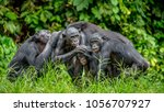 Group Of Bonobo On The Backdrop ...