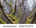 Moss On Grey Trees From The...