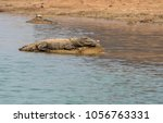 Small photo of Indian Magar crocodile sun basking on the edge of chambal river during a boat cruise