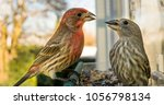 A Male House Finch Tries To...