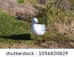 a dainty white  seagull seabird ... | Shutterstock . vector #1056820829