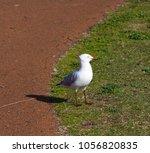 a dainty white  seagull seabird ... | Shutterstock . vector #1056820835