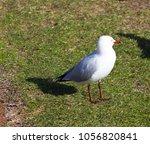 a dainty white  seagull seabird ... | Shutterstock . vector #1056820841