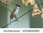 the red whiskered bulbul or... | Shutterstock . vector #1056840485