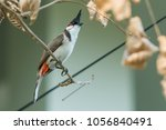 the red whiskered bulbul or... | Shutterstock . vector #1056840491