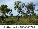 cerrado vegetation in the... | Shutterstock . vector #1056845774
