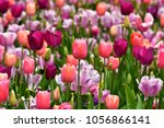multi colored tulip | Shutterstock . vector #1056866141