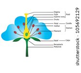 structure of the flower  vector ... | Shutterstock .eps vector #105692129