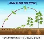 diagram showing bean plant life ... | Shutterstock .eps vector #1056921425