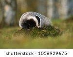 portrait of european badger ... | Shutterstock . vector #1056929675