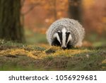 portrait of european badger ... | Shutterstock . vector #1056929681