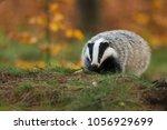 portrait of european badger ... | Shutterstock . vector #1056929699
