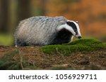 portrait of european badger ... | Shutterstock . vector #1056929711
