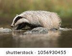 european badger  meles meles  ... | Shutterstock . vector #1056930455
