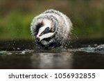 european badger  meles meles  ... | Shutterstock . vector #1056932855