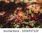 red maple leave fall in the... | Shutterstock . vector #1056937229