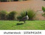 canada goose  branta canadensis  | Shutterstock . vector #1056941654