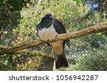 kereru   new zealand wood... | Shutterstock . vector #1056942287
