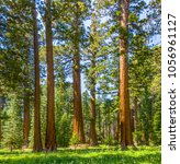 the famous big sequoia trees... | Shutterstock . vector #1056961127