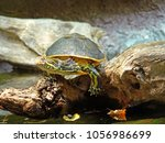 a turtle basking lazily on a...   Shutterstock . vector #1056986699