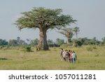 baobab tree in okavango delta ... | Shutterstock . vector #1057011281