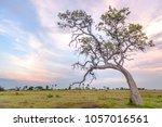 lone tree at sunset in okavango ... | Shutterstock . vector #1057016561