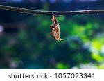 Small photo of Chrysalis of Black-veined sergeant butterfly ( Athyma ranga ) hanging on twig in garden